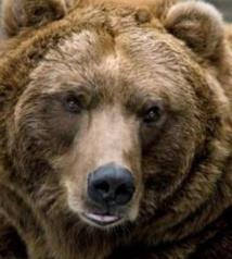 Maintenir l'autorisation de chasser l'ours pour mieux le protéger