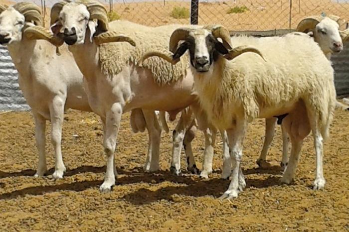 Les spéculateurs font grimper le prix du mouton
