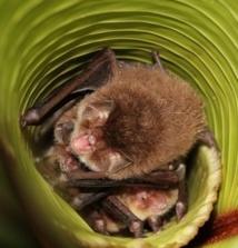 Quand les chauves-souris utilisent les feuilles en guise de mégaphones