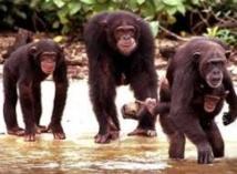 Les chimpanzés émettraient des cris d'alarme pour prévenir leurs proches
