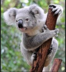 L'eucalyptus, une nouvelle piste pour trouver de l'or?