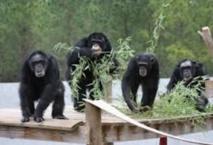 Les chimpanzés font appel à leur mémoire pour mieux se nourrir