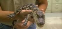 Insolite : Alligator à l'aéroport
