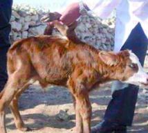 Naissance d'une vache avec six pattes à Essaouira