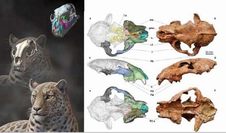 Un fossile du plus vieil ancêtre des grands félins découvert au Tibet