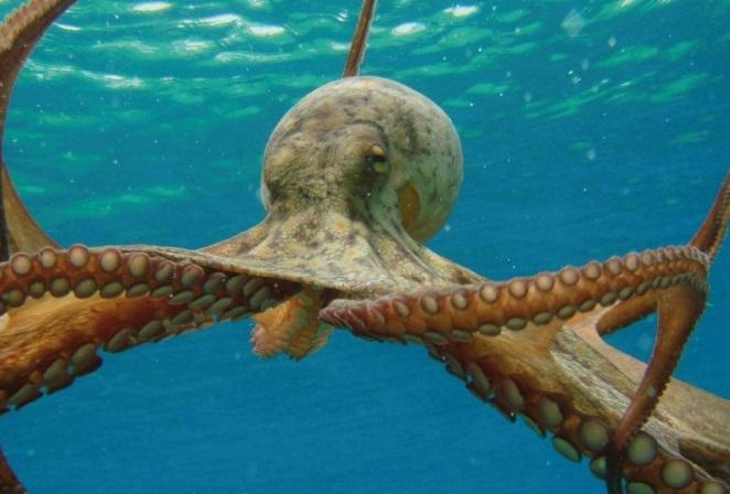 Les fascinantes capacités de déplacement des pieuvres