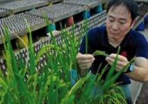 Un gène susceptible de faire exploser les rendements de riz
