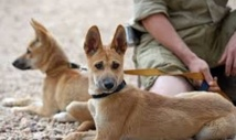 Les dingos, emblèmes de  l'Australie, risquent de disparaître