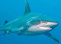 Les requins savent s'approcher en toute discrétion de leur cible