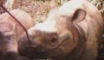 Rhinocéros de Java: le refuge de la dernière chance