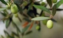Une production oléicole de 135.090 T dans la région de Fès-Boulemane
