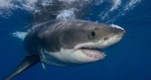 En Australie, les requins utilisent Twitter pour signaler leur approche
