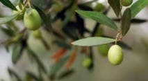 Bonne saison pour la filière oléicole à Sefrou