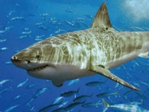 Les grands requins blancs auraient une espérance de vie de plus de 70 ans