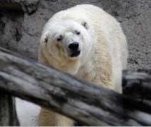 Insolite : Arturo, ours polaire argentin déprimé, lorgne vers le Canada