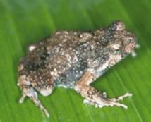 Chez les grenouilles tungara, le chant d'amour est à double tranchant