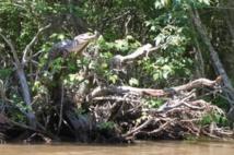 Des crocodiles sur les arbres
