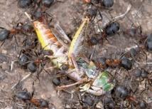 Les fourmis, des insectes encore plus forts qu'on ne le pense?