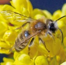 Des abeilles sauvages utilisent  du plastique pour construire leur nid