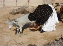 Lutte contre les maladies animales contagieuses à Smara