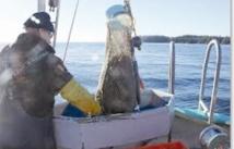 La palourde royale, l'or de la côte pacifique canadienne
