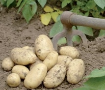 Appel à adopter des mesures incitatives pour relancer les exportations des pommes de terre