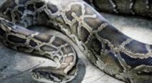 Le python voyageur  ne perd jamais le nord
