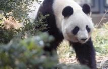 Les pandas géants ont un faible pour le sucre