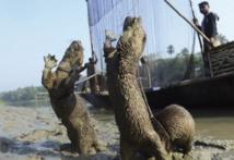 Au Bangladesh, la tradition de la pêche à la loutre en voie d'extinction