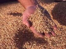 21,8 millions de quintaux de céréales collectés