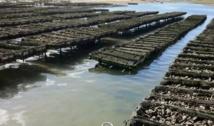 Interdiction de la  commercialisation  des huîtres de Oualidia