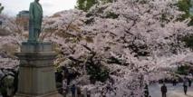 Insolite : Le mystère du cerisier de l'espace