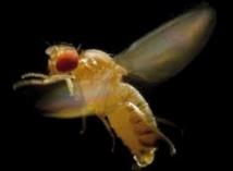 Face à un prédateur, la mouche drosophile manœuvre comme un avion de combat