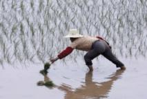 Blé et riz, source des différences culturelles nord-sud en Chine