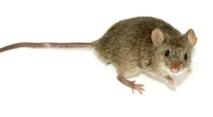La parité doit aussi s'appliquer aux rats de laboratoire
