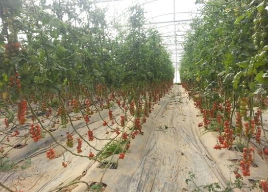 La FIFEL dénonce la pression de lobbies européens sur la tomate marocaine