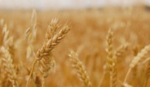 L'augmentation du CO2 dans l'atmosphère amoindrit la valeur nutritive des céréales et légumineuses
