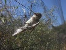 Deux millions d'oiseaux migrateurs tués à Chypre