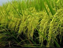 Mobilisation pour le développement de la riziculture dans la région du Gharb