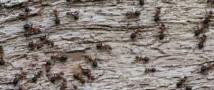 Les fourmis cherchent  la nourriture aussi efficacement qu'un algorithme de Google