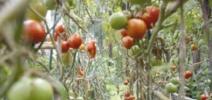 Les poissons font pousser les tomates