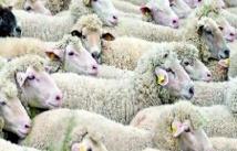 Le séquençage du génome  du mouton révèle bien des secrets