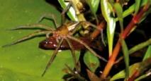 Les araignées pêcheurs de poissons