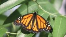 Le papillon Monarque migre grâce à une boussole magnétique