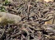 Le plus grand rassemblement des serpents du monde