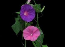 Des fleurs ultra-éphémères qui durent