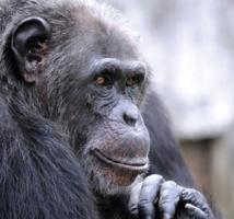 Les chimpanzés ont un langage par les gestes