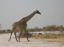 Comment la girafe fait-elle pour tenir ses fines pattes ?