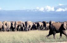 Le dur combat pour sauver les éléphants de Tanzanie