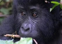 Le tourisme au secours des gorilles des montagnes menacés de l'Ouganda